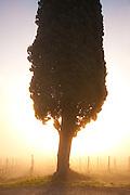 A lone cypress tree and a vineyard of Chianti's Sangiovese grapes at dawn, north of Siena, Tuscany, Italy.