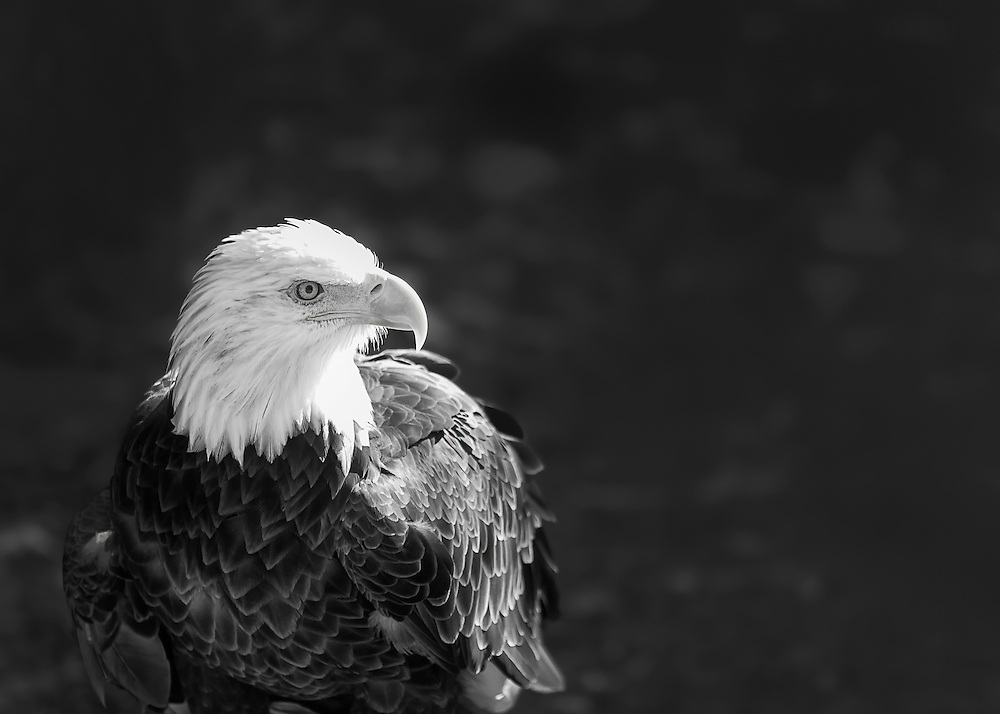 Bald Eagle hanging out and stalking it's next prey.