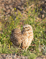 A pair of Burrowing Owls, Athene cunicularia, stands near their artificial burrow in Zanjero Park, Gilbert, Arizona