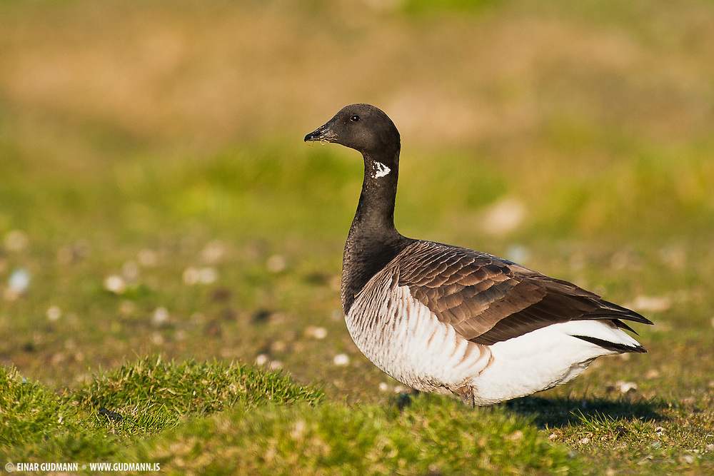 """The Brant or Brent Goose, Branta bernicla, is a species of goose of the genus Branta. The Black Brant is an American subspecies. The specific descriptor bernicla is from the same source as """"barnacle"""" in Barnacle Goose, which looks similar but is not a close relation."""