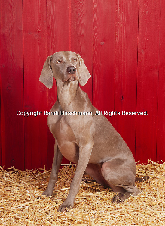 """Weimaraner, AKC, 2-year-old """"Ellie"""" photographed at Randi's studio and owned by Cindy Williams of Anchorage, Alaska.  (PR)"""