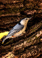 A White-Breasted Nuthatch Hiding In The Tree Bark