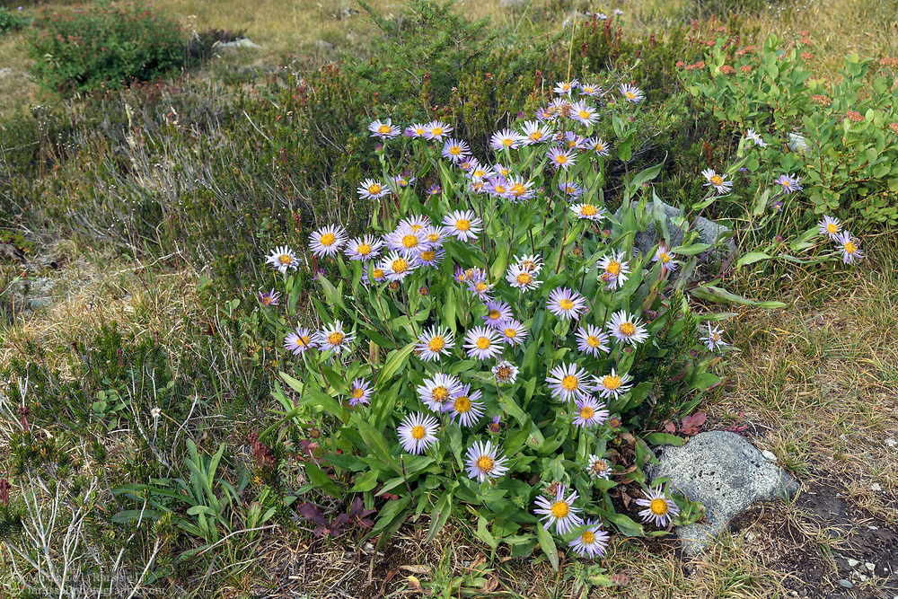 A late blooming Subalpine Aster (Eurybia merita) in the Mount Baker-Snoqualmie National Forest in Washington State, USA. Photographed from the Chain Lakes Trail in Heather Meadows just before the Fall's first snow.