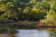 Aires de verano / patos silbadores / Parque Nacional Camino de Cruces, Panamá.<br /> <br /> Edición de 10   Víctor Santamaría.<br /> <br /> Summer airs / black bellied whistling ducks / Camino de Cruces National Park, Panama.<br /> <br /> Edition of 10   Víctor Santamaría.