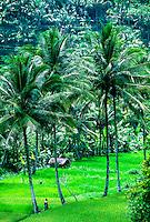 Rice Terraces near Padanggaji, Bali, Indonesia