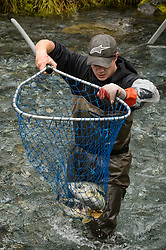Dylan Burbank, a fish technician for the non-profit Northern Southeast Regional Aquaculture Association, Inc. (NSRAA), captures a chum salmon at a temporary weir located on the man-made spawning channel of Herman Creek near Haines, Alaska.<br /> <br /> NSRAA built the channel to collect wild broodstock by harvesting spawning female and male salmon for their eggs and milt to artificially spawn wild chum salmon. The eggs are fertilized with milt and placed in stream-side incubation boxes on Herman Creek and the Klehini River. In 2014, 2.4 million eggs were seeded into these incubation boxes. The 2013 incubation box survival rate was 90%. Without the artificial spawning, natural survival is said to be only 10%.<br /> <br /> Based in Sitka, Alaska, NSRAA conducts salmon enhancement projects in northern southeast Alaska. It is funded through a salmon enhancement tax (of three percent) and cost-recovery income. NSRAA also produces sockeye, chinook, and coho salmon.<br /> <br /> Male chum salmon return to Herman Creek to spawn with female chum salmon during the fall chum salmon run. The chum salmon return to freshwater Herman Creek, tributary of the Klehini River after living three to five years in the saltwater ocean. Spawning only once, chum salmon die approximately two weeks after they spawn. <br /> <br /> Chilkat River and Klehini River chum salmon are the primary food source for one of the largest gatherings of bald eagles in the world. Each fall, bald eagles congregate in the Alaska Chilkat Bald Eagle Preserve.