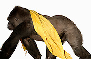 Deutschland, DEU, Krefeld, 2004: Projekt ueber die biologischen Wurzeln der Mode. Die Shootings hierfuer wurden mit Grossen Menschenaffen, die dem Menschen am naechsten sind, im Krefelder Zoo gemacht. Die Tiere waren weder zahm noch trainiert. Die Kleidungsstuecke wurden in die Gehege geworfen und was immer die Tiere damit anstellten, taten sie aus sich selbst heraus. Ein Eingreifen oder gar eine Regie war unmoeglich. Da das Verhalten der Affen im Mittelpunkt stand, wurden die Hintergruende von den Originalfotografien entfernt. Gorilla-Maennchen Jambo mit einem Tuch von Marina Rinaldi.  | Germany, DEU, Krefeld, 2004: Project to look at the basics and roots of fashion. The shootings took place in the Zoo Krefeld with three species of Great Apes who are the nearest to us. The animals were neither tamed nor trained. Whatever the animals did, they did on their own. Any intervention or directing was impossible. To set the focus on the behaviour of the animals itself we removed the background from the original photographs. Gorilla (Gorilla gorilla) male Jambo, walking with a scarf from Marina Rinaldi. |