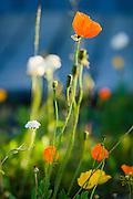 Alaskan poppy flowers in bloom in Atlin British Columbia.