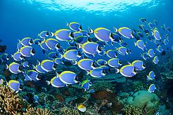 Acanthurus leucosternon,  Weisskehl  oder Weissbrust Doktorfisch, powderblue surgeonfish, Lakkadiven See, Indischener Ozean, Maradhoo, Gan, Addu Atoll, Malediven, Asien, Laccadive Sea, Maldives, Indian Ocean, Asia