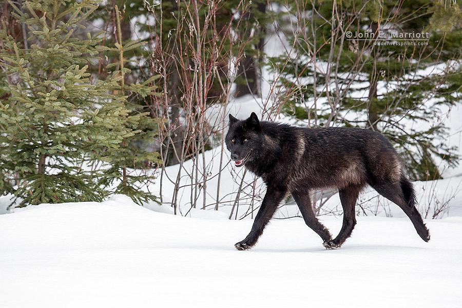 Wild black wolf