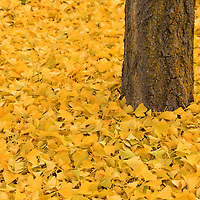 """""""Ginkgo Bliss"""" 2<br /> <br /> All the autumn splendor of the wonderful Ginkgo Biloba! Beautiful golden yellow leaves carpet the ground surrounding its trunk!!<br /> <br /> Fall Foliage by Rachel Cohen"""