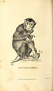 Pig-tailed Baboon from General zoology, or, Systematic natural history Part I, by Shaw, George, 1751-1813; Stephens, James Francis, 1792-1853; Heath, Charles, 1785-1848, engraver; Griffith, Mrs., engraver; Chappelow. Copperplate Printed in London in 1800. Probably the artists never saw a live specimen