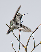 An Anna's hummingbird defends its tiny treetop nation of one. (Steve Ringman / The Seattle Times)