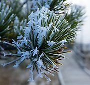 Snow on pine needles. Artists' Paint Pots Trail. Yellowstone National Park, Wyoming, USA.
