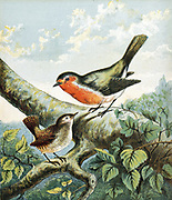 'Cock Robin singing to Jenny Wren, illustration for the early 19th century nursery rhyme of ''The Marriage of Cock Robin and Jenny Wren'', Colour-printed engraving c1880.'