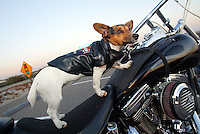 """Mar 26, 2003; Newport Beach, CA, USA; Two year old KIA BRUCE, a short legged, tri-colored smooth coat Jack Russell Terrior dog rides on her owners Harley. Kia has her own goggles, Harley riders vest and safety chain on the bike. Owner Rene Bruce got this 9.5"""" tall terrior in Aguanga, CA in May 2001. Kia has her own website showcasing her agility ribbons and special events. Kiapet.com."""