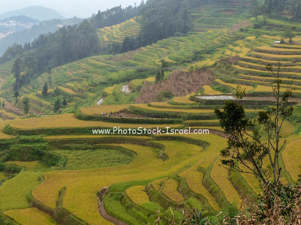 Rice Terraces, Yuanyang, Yunnan Province, China