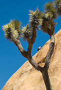 Rock Climber in Joshua Tree National Park