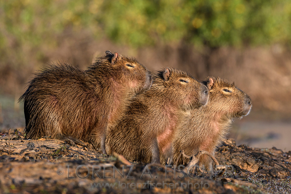 Three capybara (Hydrochoerus hydrochaeris) youngsters are warming up from a cold night, Pantanal, Mato Grosso do Sul, Brazil