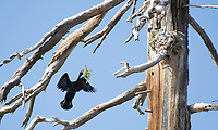 A Double-crested Cormorant, Phalacrocorax auritus, brings nesting material to its nest in a dead tree on the shore of Hyatt Lake, Oregon