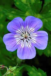 Geranium 'Buxton's Blue' syn G. wallichianum 'Buxton's Variety'<br /> Cranesbill