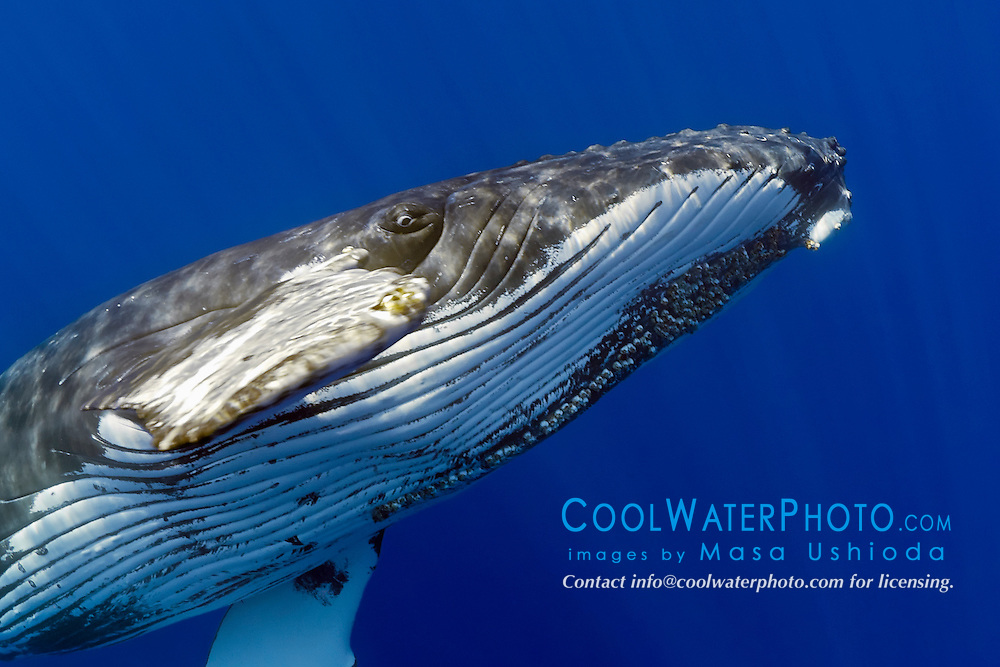 humpback whale, Megaptera novaeangliae, extremely curious adult female, reaching out with her long pectoral fin for a physical contact, Hawaii, USA, Pacific Ocean