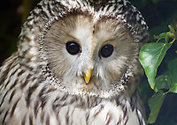 White Barred Owl, close-up