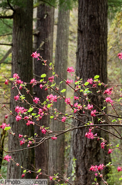 Red-flowering currant (Ribes sanguineum) blossoms in Spring (mid March) beneath large tree trunks in Wahkeena Creek Gorge, in Columbia River Gorge National Scenic Area, Oregon, USA.