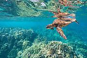 green sea turtle or honu, Chelonia mydas, swimming over shallow coral reef, Honaunau, Kona, Hawaii ( Central Pacific Ocean )