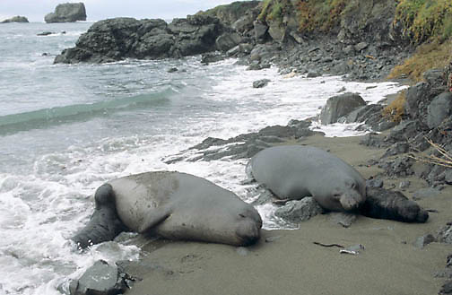 Northern Elephant Seal, (Mirounga angustirostris)  Females and newborns on beach with dangerous tide. California.