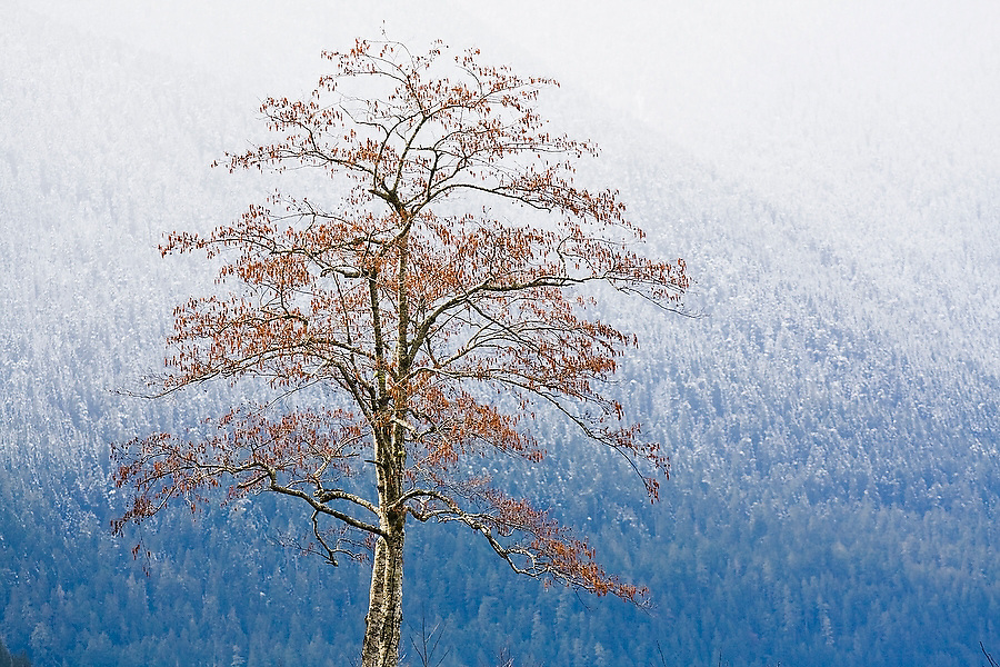 A red alder (Alnus rubra) on the shores of Lake Crescent, in Olympic National Park, Washington, with the foothills of the Olympics lightly dusted in snow in the background.