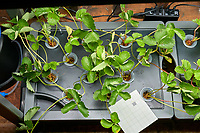 AeroGarden Farm 05 Left Tray at day 02. R01-R12 Chandler Strawberry Plants (ISONS). Image taken with a Leica TL-2 camera and 35 mm f/1.4 lens (ISO 800, 35 mm, f/11, 1/50 sec).