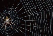 Spider on web at night - Amazonia, Peru.