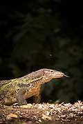 Monitor Lizard, Meru Betiri National Park, East Java, Indonesia, Southeast Asia