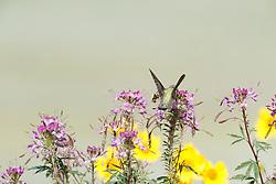 Rufous hummingbird in Rocky Mountain bee plant, Vermejo Park Ranch, New Mexico, USA.