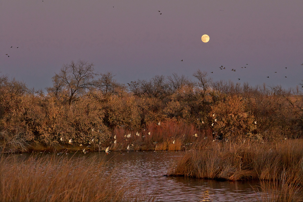 Full Moon and Ducks in Flight near Hagerman Idaho along the Snake River. Licensing - Open Edition Prints