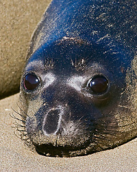 Picture of newborn northern elephant seal pup, Mirounga angustirostris, with black natal pelage, Piedras Blancas, California, USA, East Pacific Ocean