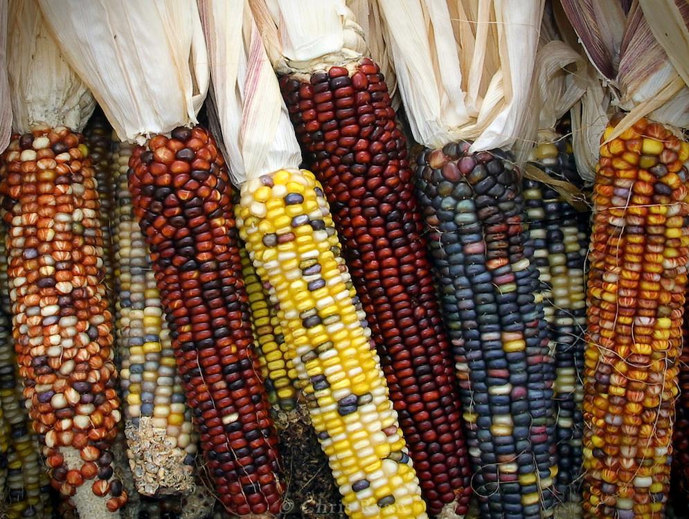 Wild corn, California