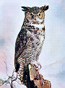 "The great horned owl (Bubo virginianus), also known as the tiger owl (originally derived from early naturalists' description as the ""winged tiger"" or ""tiger of the air"") or the hoot owl,[2] is a large owl native to the Americas. It is an extremely adaptable bird with a vast range and is the most widely distributed true owl in the Americas.[3] Its primary diet is rabbits and hares, rats and mice, and voles, although it freely hunts any animal it can overtake, including rodents and other small mammals, larger mid-sized mammals, birds, reptiles, amphibians, and invertebrates. From Birds : illustrated by color photography : a monthly serial. Knowledge of Bird-life Vol 1 No 3 March 1897"