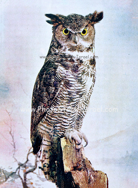"""The great horned owl (Bubo virginianus), also known as the tiger owl (originally derived from early naturalists' description as the """"winged tiger"""" or """"tiger of the air"""") or the hoot owl,[2] is a large owl native to the Americas. It is an extremely adaptable bird with a vast range and is the most widely distributed true owl in the Americas.[3] Its primary diet is rabbits and hares, rats and mice, and voles, although it freely hunts any animal it can overtake, including rodents and other small mammals, larger mid-sized mammals, birds, reptiles, amphibians, and invertebrates. From Birds : illustrated by color photography : a monthly serial. Knowledge of Bird-life Vol 1 No 3 March 1897"""