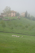 A flock of sheep graze on green grass on a foggy morning, between Siena and Val d'Orcia, Tuscany, Italy.