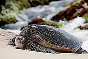 A honu (Hawaiian Green Sea Turtle) lays on the beach in front of a rocky background.