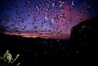 Thousands of wrinkled-lipped bats fly out of a cave at dusk..Khao Yai National Park, Thailand.