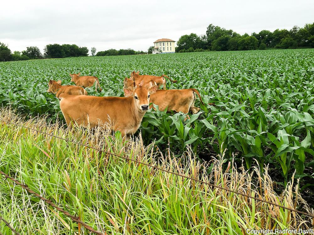 Calves romping through early growth corn field in Iowa