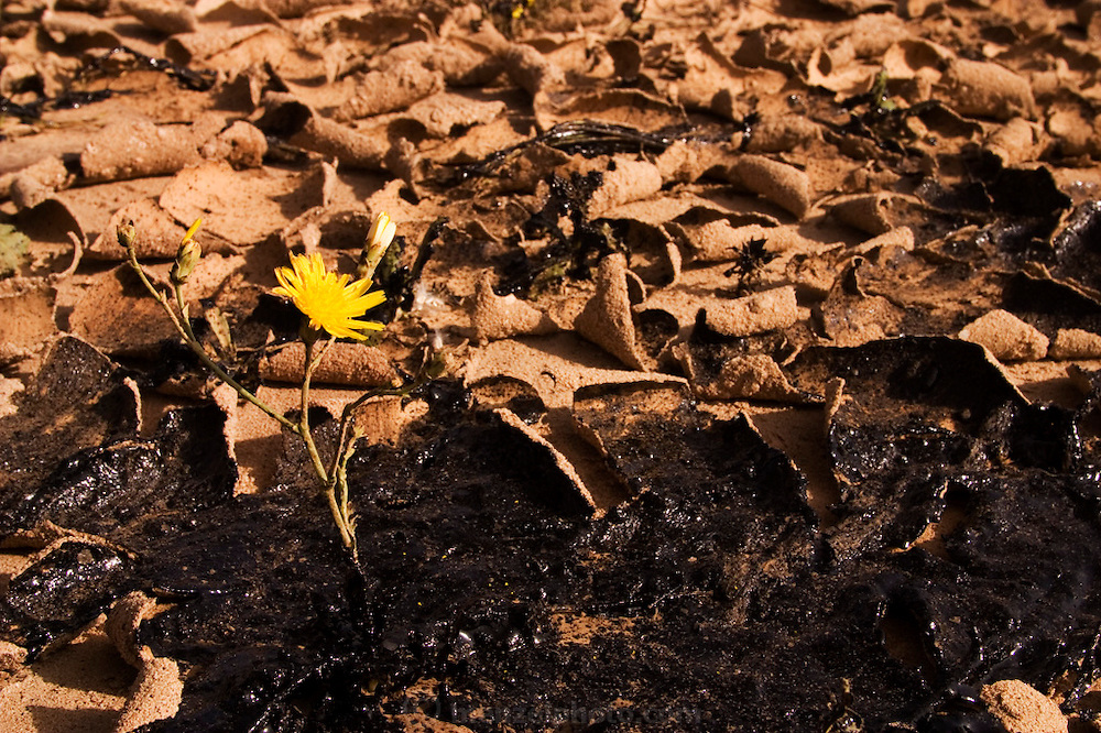 A yellow flower grows out of the oil-caked ground of Rumaila oil field in southern Iraq. The Rumaila field is one of Iraq's biggest oil fields with five billion barrels in reserve. Rumaila is also spelled Rumeilah.