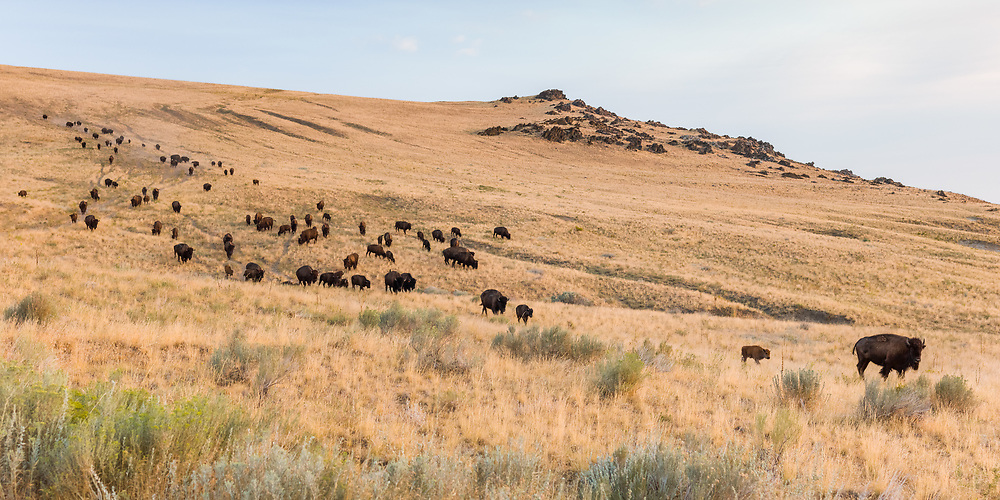 https://Duncan.co/herd-of-bison-walking-down-hill/