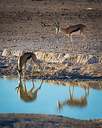 The springbok (Antidorcas marsupialis) is a medium-sized antelope found mainly in southern and southwestern Africa. The sole member of the genus Antidorcas, this bovid was first described by the German zoologist Eberhard August Wilhelm von Zimmermann in 1780. Three subspecies are identified. A slender, long-legged antelope, the springbok reaches 71 to 86 cm (28 to 34 in) at the shoulder and weighs between 27 and 42 kg (60 and 93 lb). Both sexes have a pair of black, 35-to-50-centimetre (14 to 20 in) long horns that curve backward. The springbok is characterised by a white face, a dark stripe running from the eyes to the mouth, a light brown coat marked by a reddish brown stripe that runs from the upper foreleg to the buttocks across the flanks, and a white rump flap.<br /> <br /> Active mainly at dawn and dusk, springbok form harems (mixed-sex herds). In earlier times, springbok of the Kalahari desert and Karoo would migrate in large numbers across the countryside, a practice known as trekbokken. A feature unique to the springbok is pronking, in which the springbok performs multiple leaps into the air, up to 2 metres (6.6 ft) above the ground, in a stiff-legged posture, with the back bowed and the white flap lifted. Primarily a browser, the springbok feeds on shrubs and succulents; this antelope can live without drinking water for years, meeting its requirements through eating succulent vegetation. Breeding takes place year-round, and peaks in the rainy season, when forage is most abundant. A single calf is born after a five to six month long pregnancy; weaning occurs at nearly six months of age, and the calf leaves its mother a few months later.