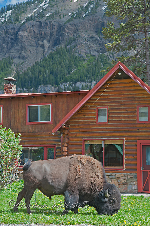 An American Bison (Bison bison) grazes by a cabin in Cooke City, Montana, near Yellowstone National Park.