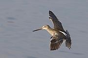 Short-billed Dowitcher landing.(Limnodromus griseus).Back Bay Reserve, California