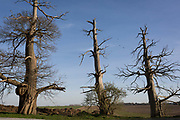 Three scarred Chestnut trees, remains of a wood on the Waterloo battlefield where French troops died in their thousands outside the walls of Hougoumont Farm, on 25th March 2017, at Waterloo, Belgium. The trees trunks are still pockmarked by musket fire with holes still embedded in the bark. The chateau became an epicentre of fighting in the Battle as it was one of the first places where British and other allied forces faced Napoleons Army. 12,000 allied troops defending 14,000 French. The Battle of Waterloo was fought on 18 June 1815. A French army under Napoleon Bonaparte was defeated by two of the armies of the Seventh Coalition: an Anglo-led Allied army under the command of the Duke of Wellington, and a Prussian army under the command of Gebhard Leberecht von Blücher, resulting in 41,000 casualties.